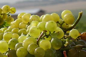 Wein des Monats April mit 15% Rabatt: Antech Chardonnay Vin de Pays d'Oc
