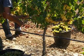 Neu bei divino Weinhandel: Ochoa Calendas Blanco D.O. Navarra