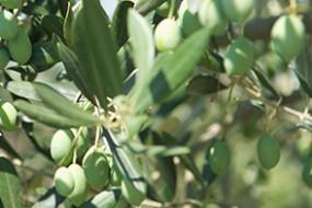 Neu bei divino: Olivenöl & Rotwein von der Badia di Morrona